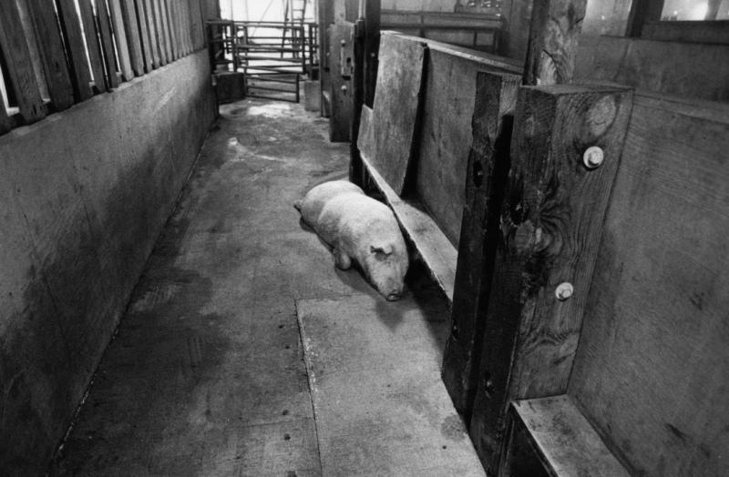 Smithfield-Ham-slaughterhouse-011-p