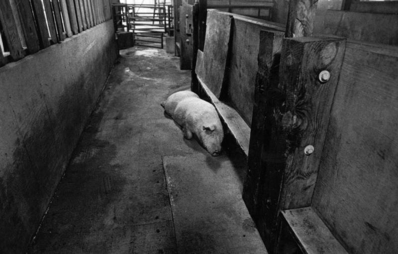 Smithfield-Ham-slaughterhouse-038-p