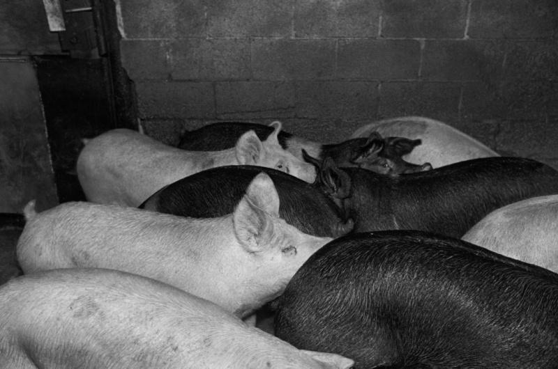 Smithfield-Ham-slaughterhouse-048-p