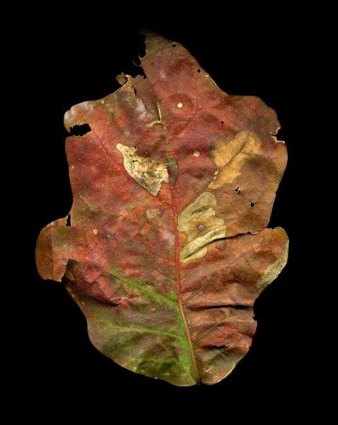 leaf_008