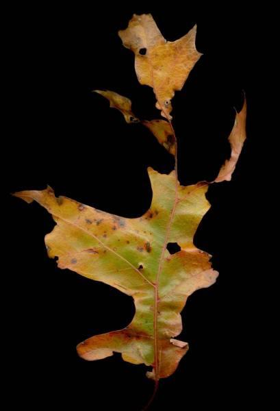 leaf_015