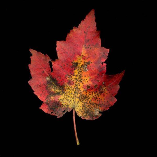 leaf_020