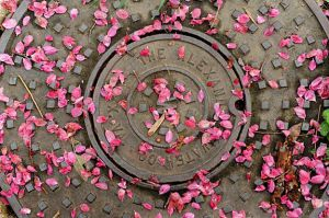 petals on manhole cover sm.jpg
